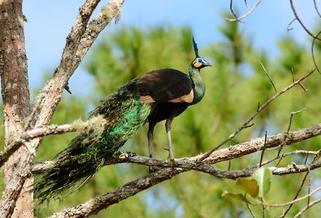 pavo: beautiful male Green Peafowl (Pavo muticus) inThai forest Stock Photo