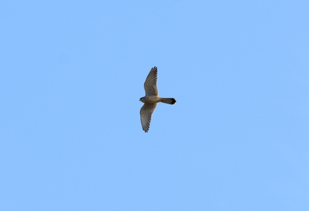 open country: beautiful male Common Kestrel (Falco tinnunculus) flying in the sky