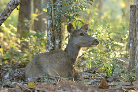 cervus: beautiful female samba (Cervus unicolor) standing in Thai forest Stock Photo