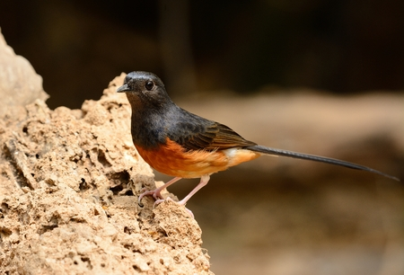 open country: beautiful female white rumped sharma (Copsychus malabaricus) inThailand Stock Photo
