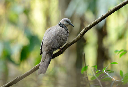 gass: beautiful spotted dove possing on the branch
