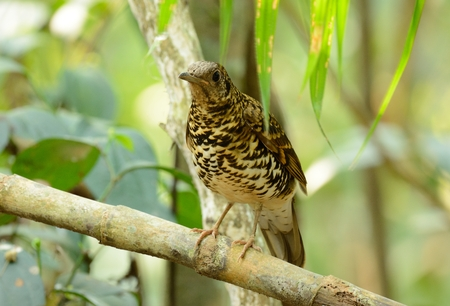 thrush: beautiful Whites Thrush (Zoothera aurea) in Thai forest