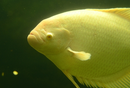snake head fish: beutiful albino male Giant Gourami (Osphronemus goramy) in aquarium