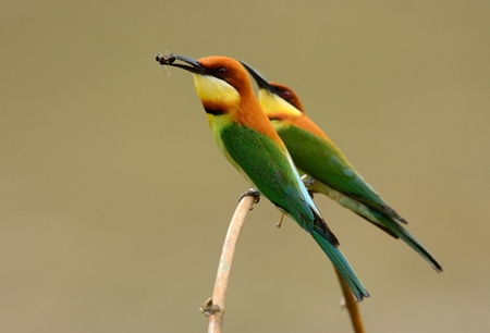 eater: beautiful chestnut headed bee eater (Merops leschenaulti) possing Stock Photo