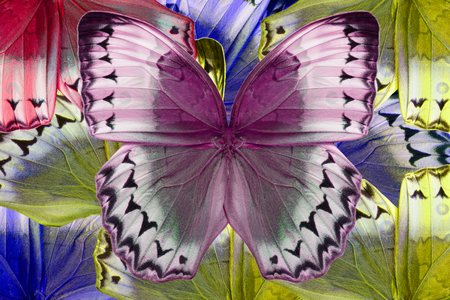 cambodian: Beautiful multicolor pattern background texture made from Cambodian Junglequeen Butterfly (Stichophthalma howqua)