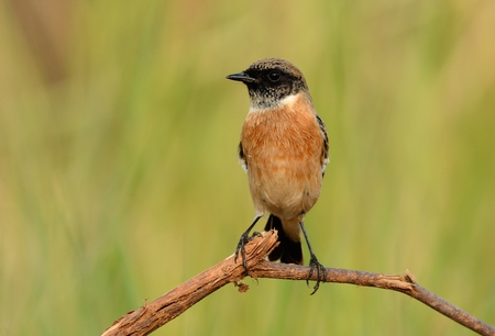 sand watch: beautiful male Eastern Stonechat (Saxicola stejnegeri) standing on ground Stock Photo