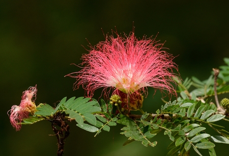 samanea saman: beautiful Raintree flower (Samanea saman (Jacg.) Merr. ) at Thai flower garden Stock Photo