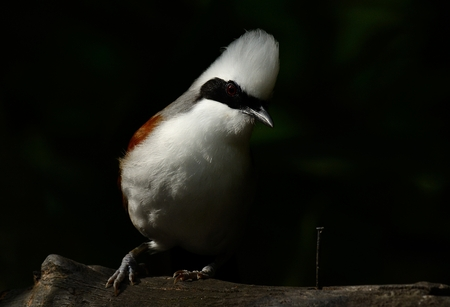 white crested laughingthrush: beautiful white-crested laughingthrush (Garrulax leucolophus) possing on tree