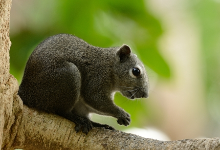 beautiful Variable Squirrel (Callosciurus finlaysoni) at Huay Kha Khaeng Wildlife Sanctuary,Thaland