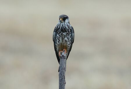 beautiful female Amur Falcon (Falco amurensis) in Thai rice field Stock Photo