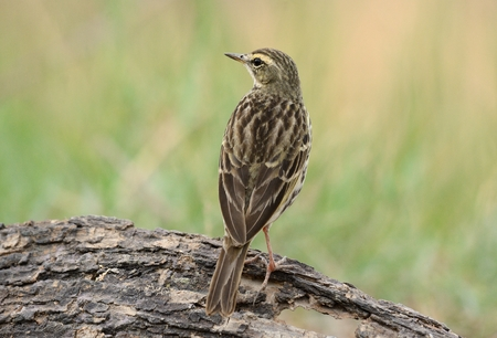 beautiful Rosy Pipit (Anthus roseatus) on ground