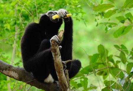 beautiful male Pileated gibbon (Hylobates pileatus) sitting on ground Stock Photo