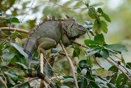 beautiful adult female green iguana (Iguana iguana)        Stock Photo
