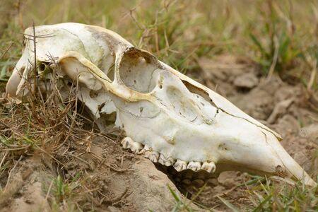 beautiful female samba (Cervus unicolor) skull in Thai forest