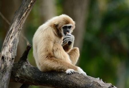 beautiful White-handed Gibbon (Hylobates lar) sitting on ground