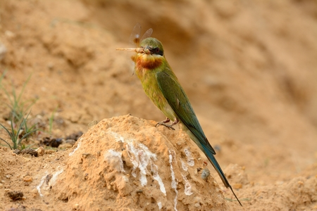 beautiful blue tailed bee eater (Merops philippinus) possing