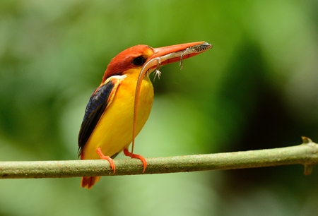 beautiful male Black-backed Kingfisher (Ceyx erithacus) sitting on branch at Kaeng Krachan National Park,Thailand