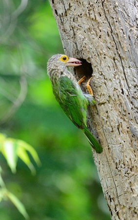 beautiful Lineated Barbet (Megalaima lineata) feeding its chick Stock Photo