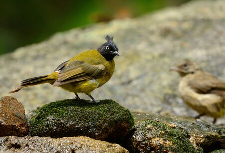 beautiful black-crested bulbul in Thai forest Stock Photo