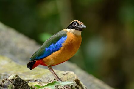 beautiful Blue-winged Pitta(Pitta moluccensis) inThai forest