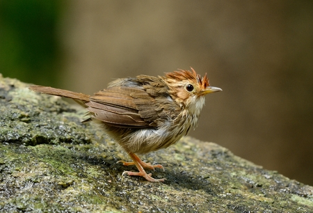 beautiful Puff-throated Babbler (Pellorneum ruficef) in Thai forest Stock Photo