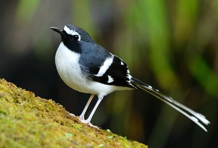 gray: beautiful slaty-backed forktail (Enicurus schistaceus) in Thai forest