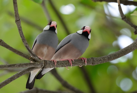 beautiful Java Sparrow (Lonchura oryzivora) feeding on ground Stock Photo