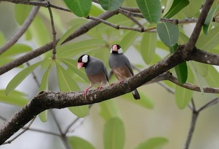 beautiful Java Sparrow (Lonchura oryzivora) feeding on ground Stock Photo