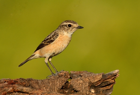 beautiful female Eastern Stonechat (Saxicola stejnegeri) standing on ground
