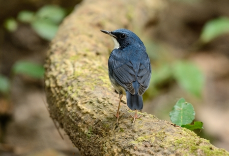 Beautiful male Siberian Blue Robin (Luscinia cyane) in Thailand Stock Photo