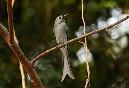 beautiful Ashy Drongo(Dicrurus leucophaeus)