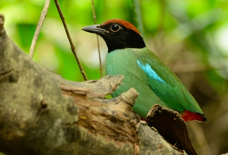 beautiful hooded pitta inThai forest Stock Photo