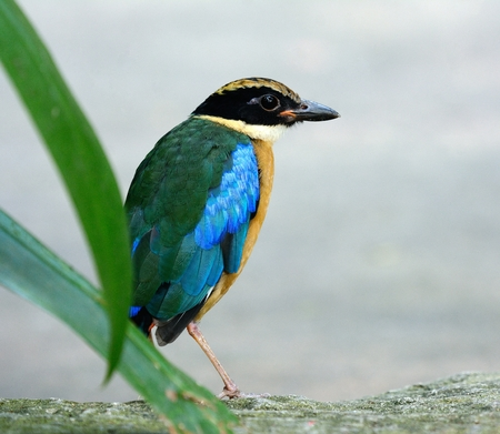 beautiful Blue-winged Pitta(Pitta moluccensis) in Thai forest