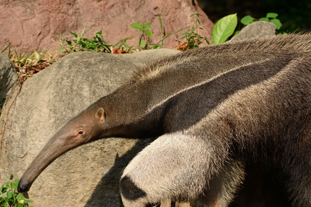 beautiful picture of giant anteater (Myrmecophaga tridactyla) in nature