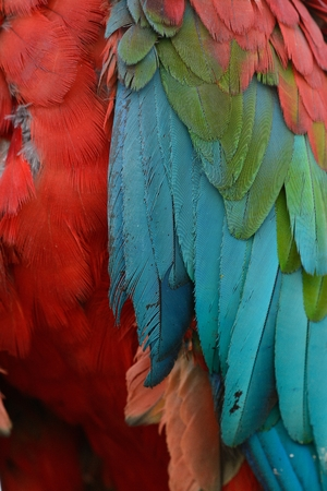 beautiful Green-winged Macaw (Ara chloropterus) breast feather