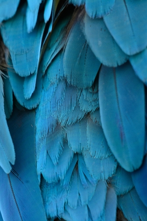 beautiful Blue-and-yellow Macaw (Ara ararauna), also known as the Blue-and-gold Macaw  back feather Imagens
