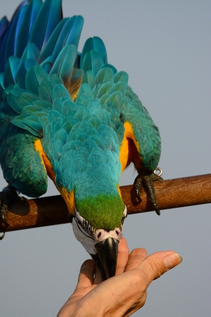 beautiful Blue-and-yellow Macaw (Ara ararauna), also known as the Blue-and-gold Macaw