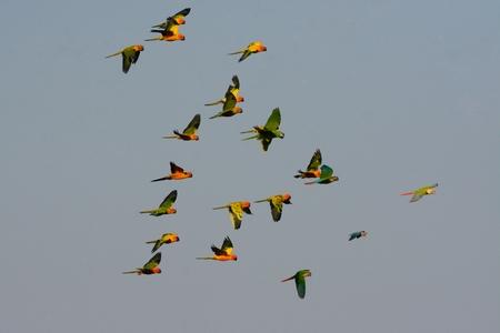 beautiful free flying pet Sun Conure (Aratinga solstitialis) and Hahn's Macaw (Diopsittaca nobilis nobilis)
