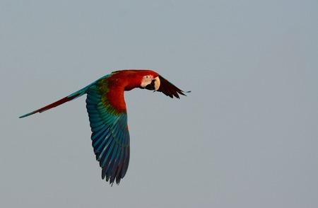 beautiful Green-winged Macaw (Ara chloropterus) as pet free flying