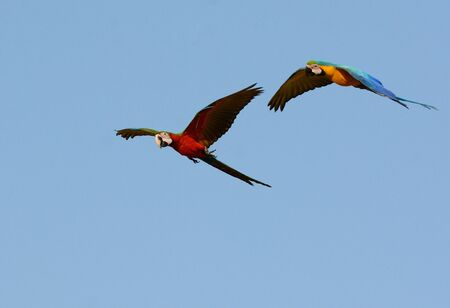 beautiful Blue-and-yellow Macaw (Ara ararauna), also known as the Blue-and-gold Macaw and Hybrid Macaw  flying