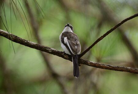 beatiful Bar Winged Flycatcher Shrike (Hemipus picatus) possing on the branch