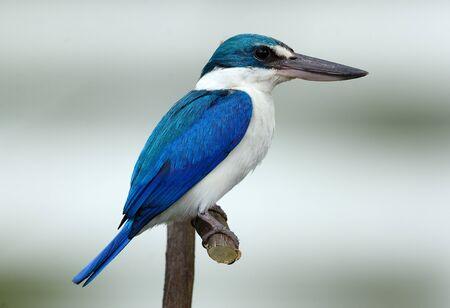 beautiful Collared Kingfisher(Todiramphus chloris) in Thai forest Imagens
