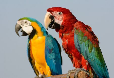 beautiful Green-winged Macaw (Ara chloropterus) as pet Imagens