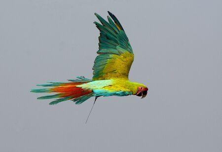 beautiful Military Macaw (Ara militaris) as pet
