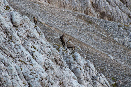 two alpine ibex fighting while small one walking away