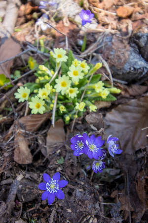a bunch of Primrose next to hepatica