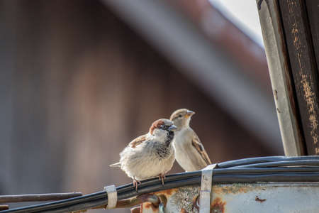 Male and female House sparrows Imagens
