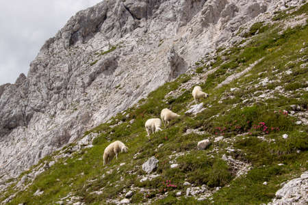 Sheeps pasture in Triglav national park high in mountains Imagens