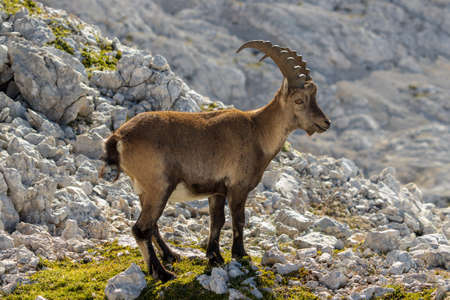 Ibex posing for the camera Banque d'images