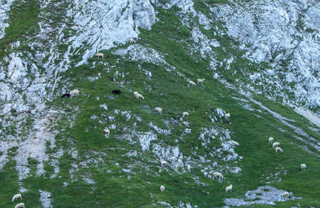 Sheeps pasturing in mountains